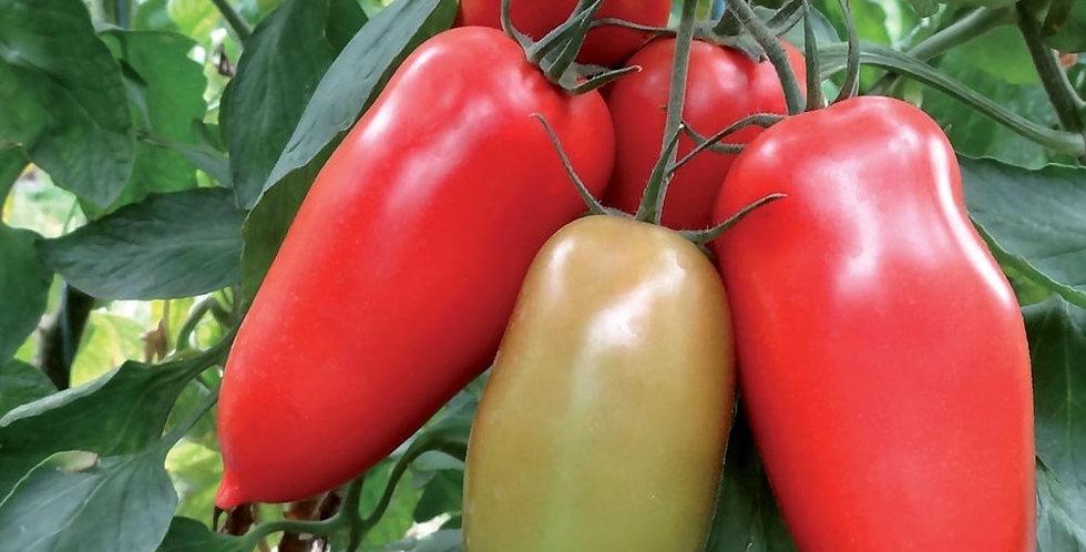 Tomate gagliardo greffée