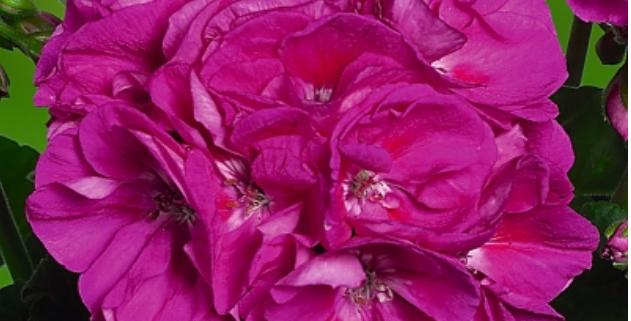 Géranium zonal violet ice
