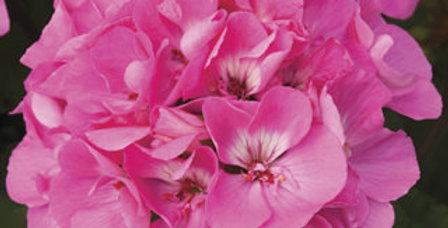 Géranium zonal pink ice