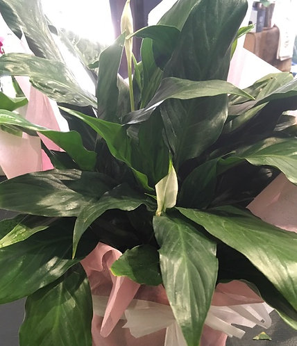 Peace Lily Plant Floral DeVine Hunters Hill Florist Gift Flower Daily Delivery Gladesville Woolwich Lane Cove Putne