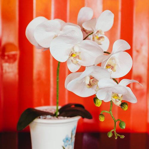 Phalaenopsis Orchid Large