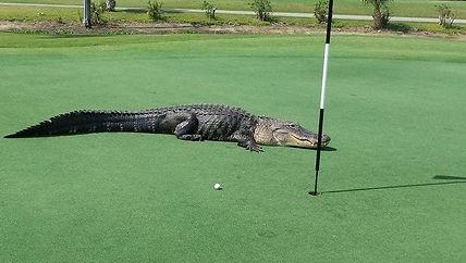 alligator on green.jpg