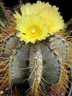 Astrophytum Ornatum 40cm