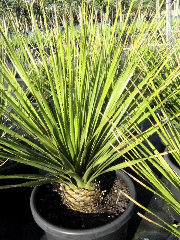 Dasylirion Acrotrichum 50cm