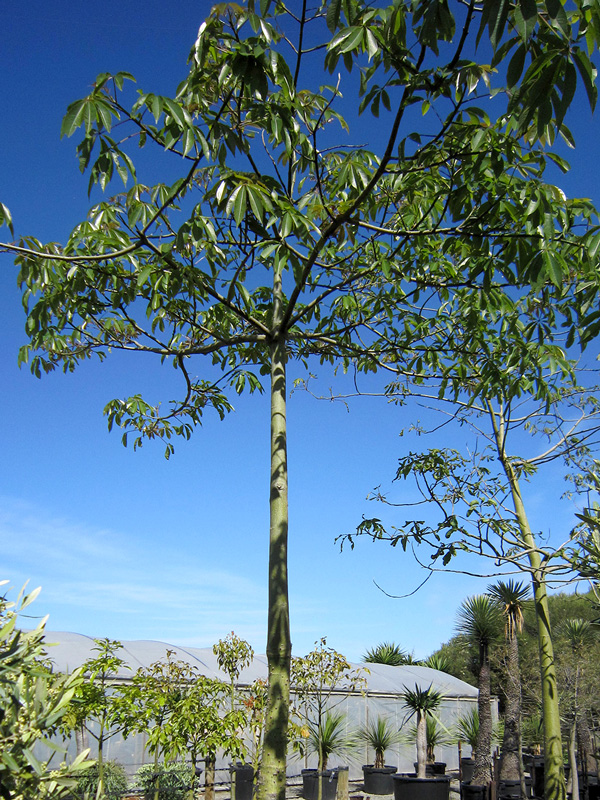 Ceiba Speciosa 200L