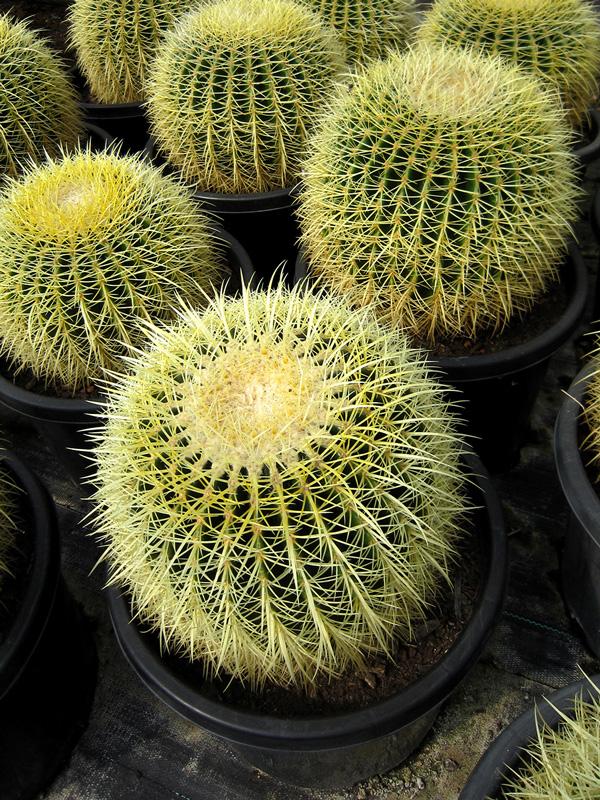 Echinocactus Grusonii 40cm