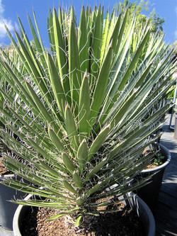 Yucca Filifera 110L