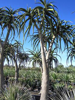 Aloe Barberae 500L