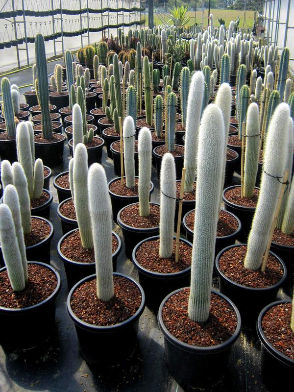 Cactus asst. 33cm