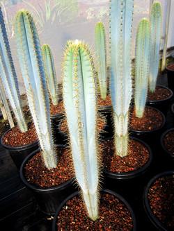 Pilosocereus azureus 33cm