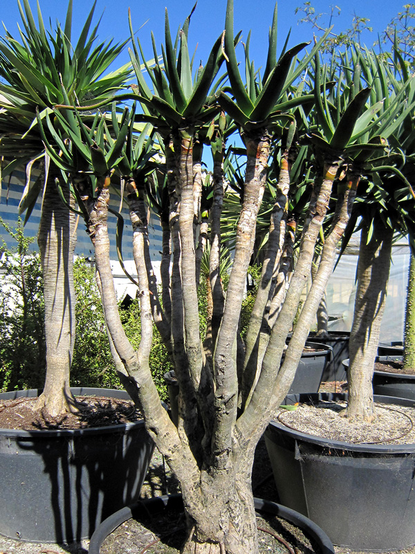 Aloe Hybrid 200L