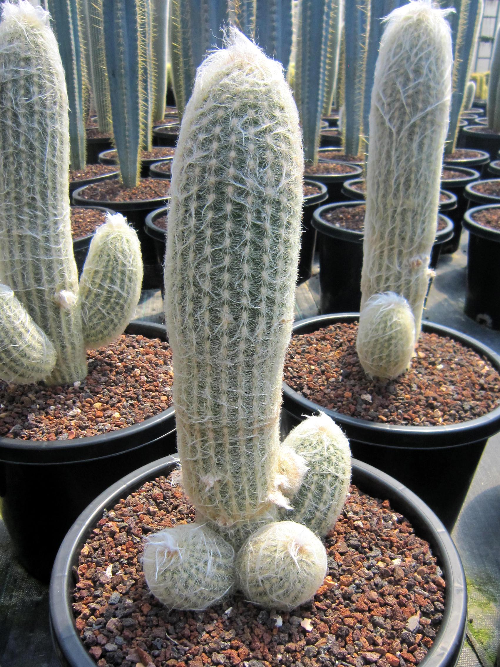 Espostoa spp. 33cm