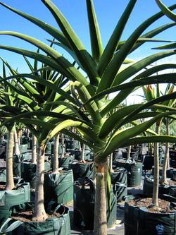 Aloe Barberae 200L