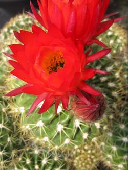 Cactus asst.