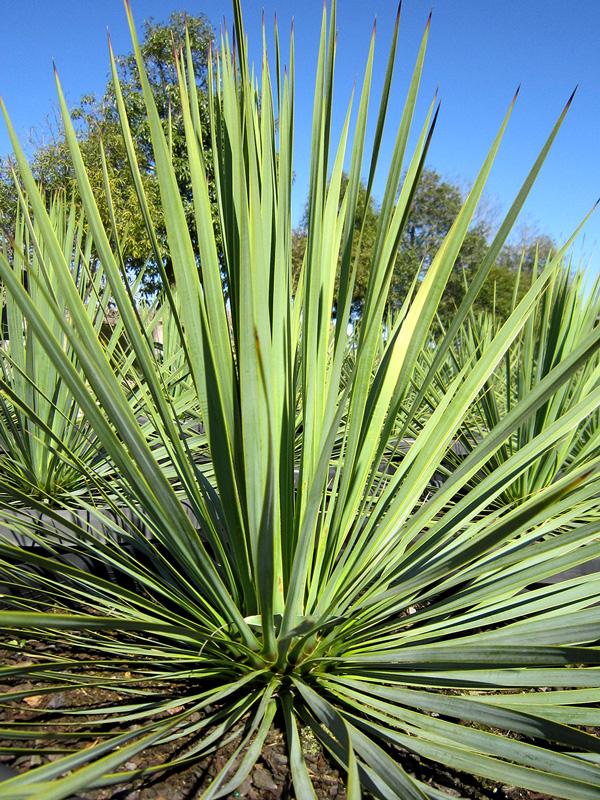 Yucca Rostrata 'Sapphire-Skies' 50cm