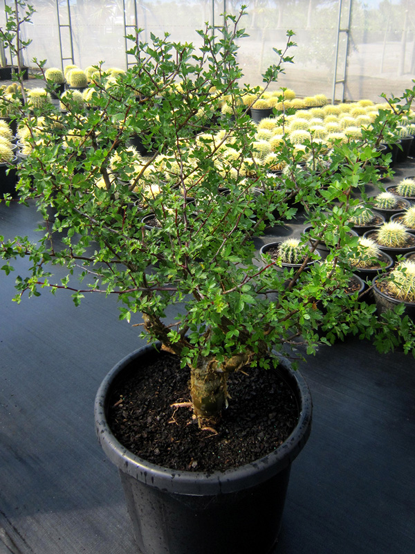Bursera Fagaroides 50cm