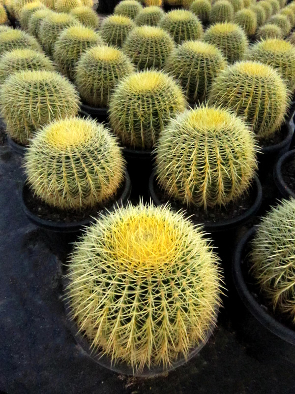 Echinocactus Grusonii 33cm
