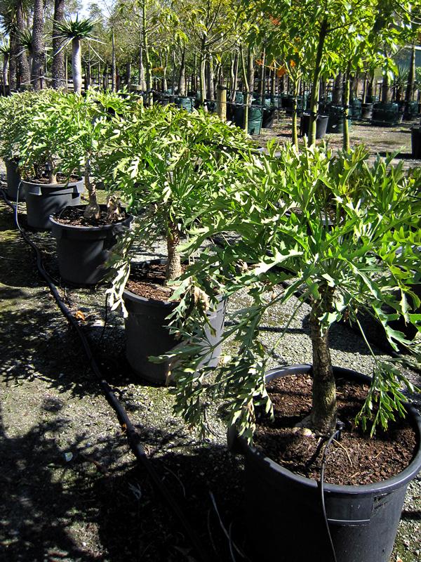 Cussonia Paniculata 50cm