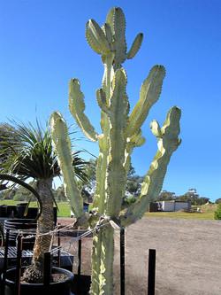 Euphorbia Ammak 230L