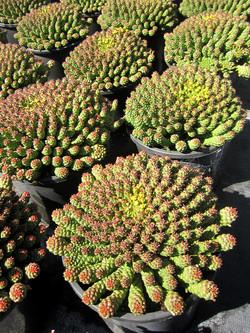Euphorbia Flanaganii MedusaHead 20cm