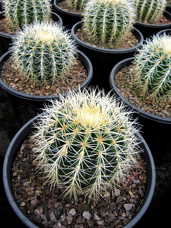 Echinocactus Grusonii Albispina 25cm