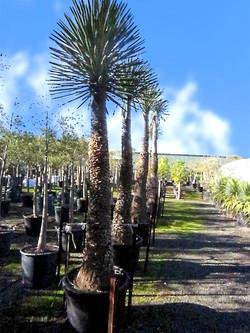 Yucca Filifera 200L