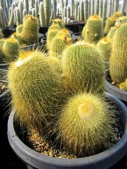 Notocactus Leninghausii 30cm