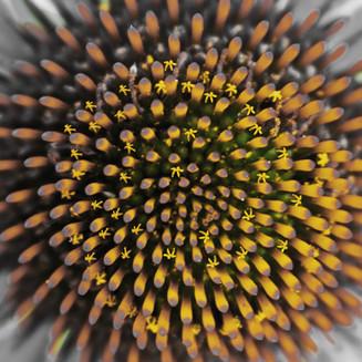 Hide & Seek On The Cone Flower