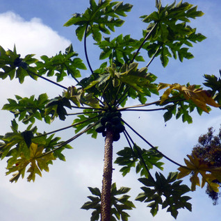 Maui Tree II
