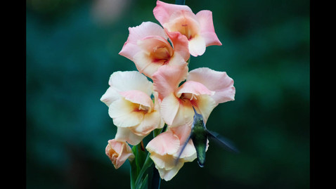 Gladiolus To See You