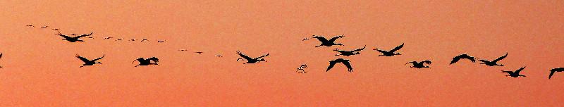 Sandhill Cranes Enroute
