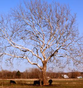 Tree XI