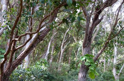 Maui Tree I