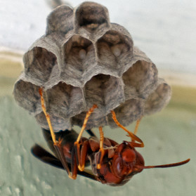 Ringed Paper Wasp And Her Eggs