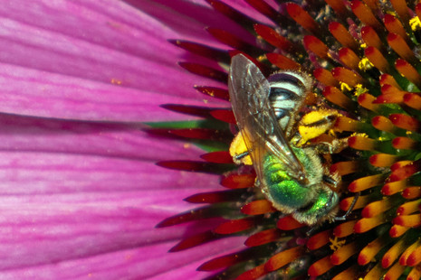 Another Visitor To The Cone Flower
