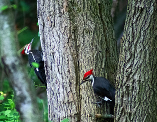 Picture A Pair Of Pileated Peckers