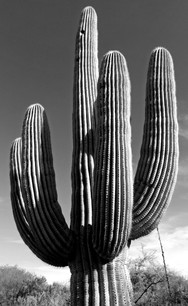 Desert Tree I