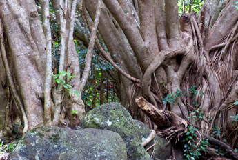 Maui Tree III