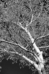 Tree XIX