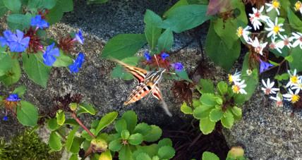 Hummingbird Moth II
