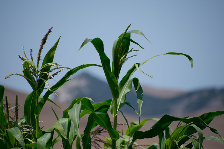 Corn forming at the top of some corn stalks