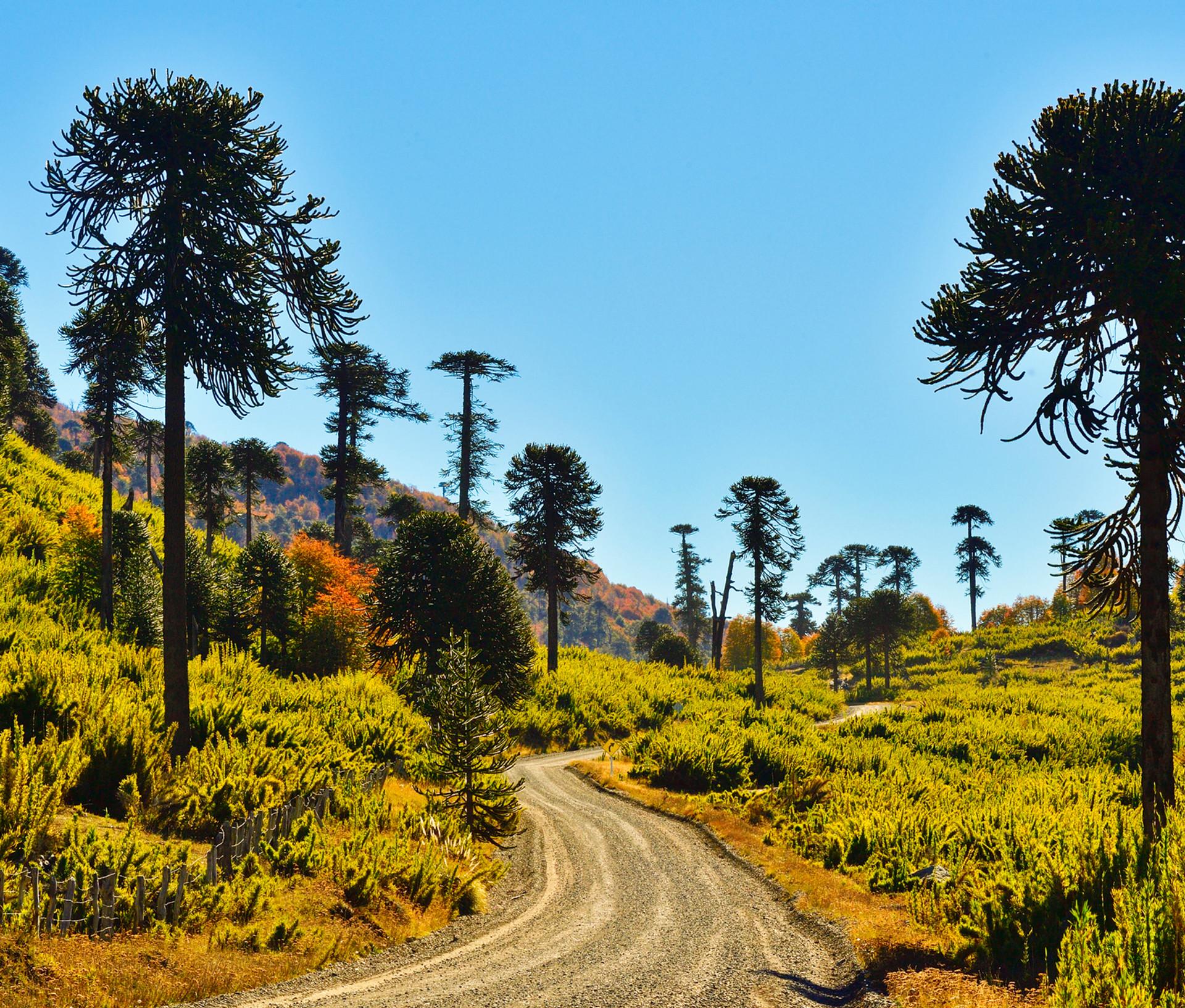 Camino y Araucarias 4.jpg