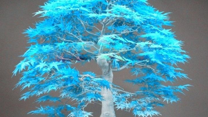 Bonsai blauer Ahornbaum