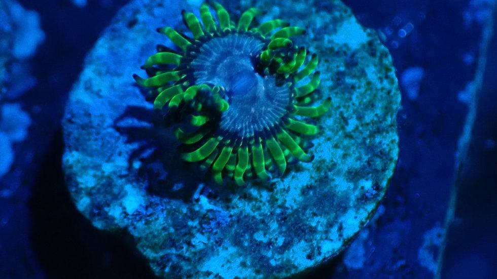 Purple MonsterZoanthid