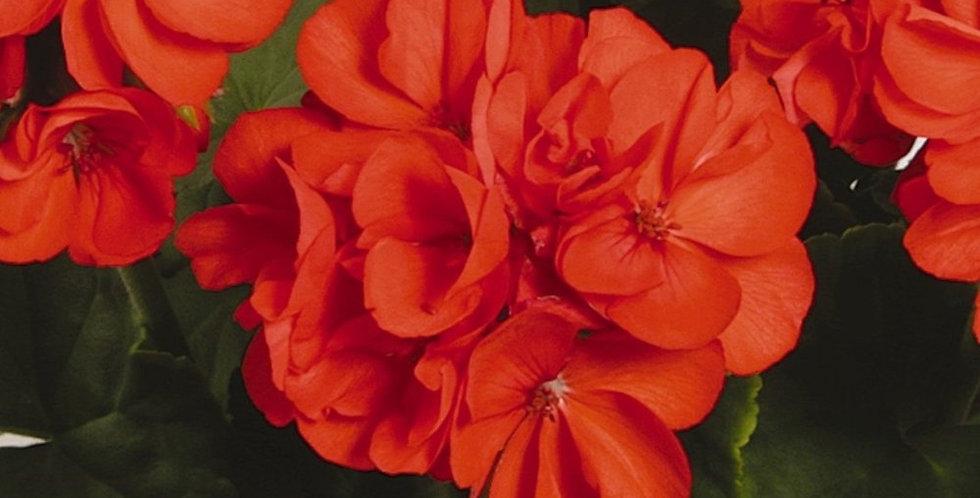 Geranium 'Patriot Orange'