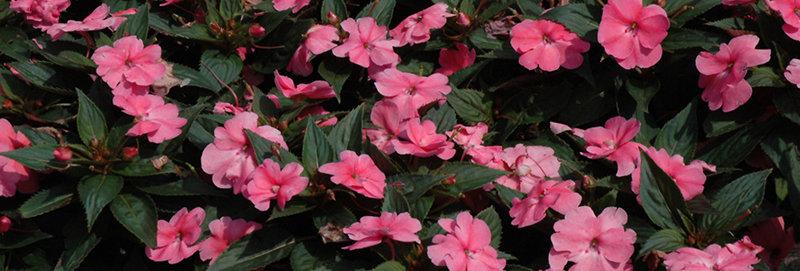 Impatiens 'Sunpatiens Compact Pink' 4po.
