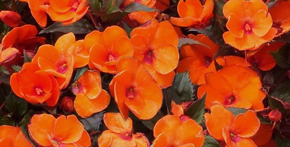 Impatiens 'Sunp. Comp. Electric Orange' 4po.