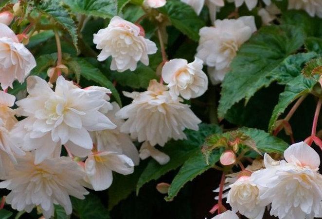 Begonia tubéreux 'Illumination Blanc' 4po.