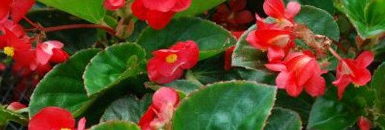 Begonia Landscape 'Big Red Green Leaf' 4po.