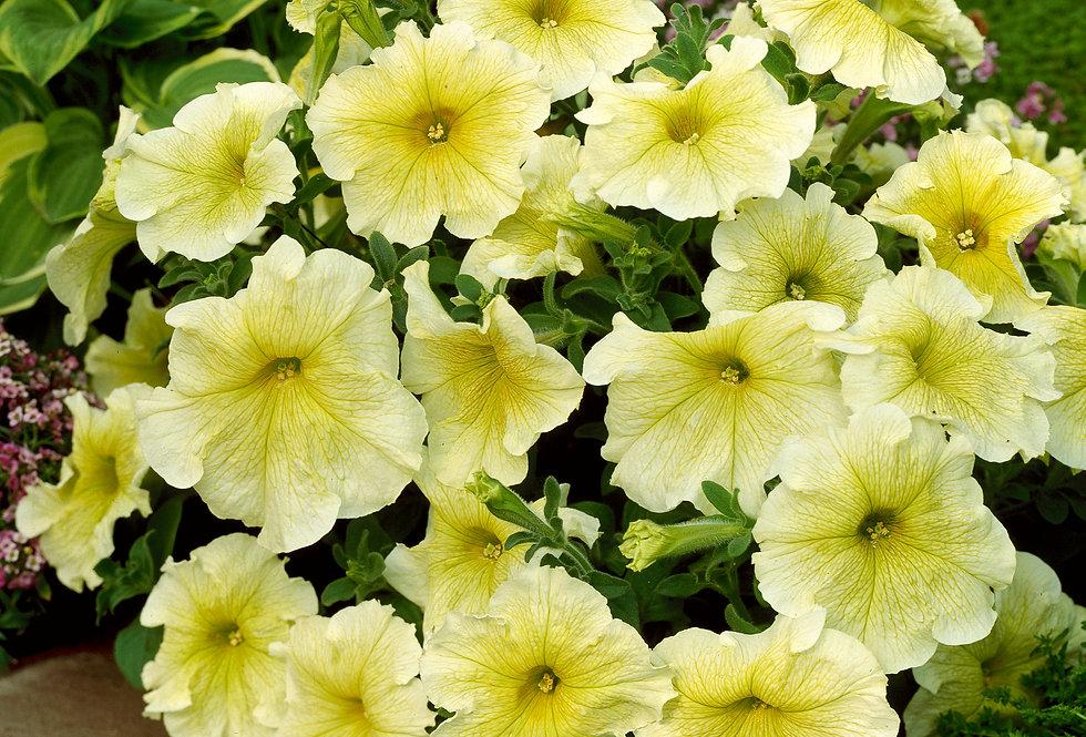 Petunia 'Prism Sunshine' 4po.
